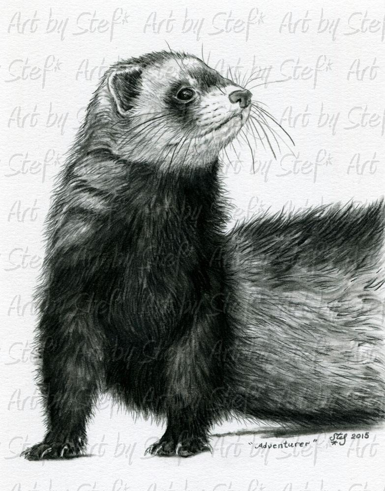 Ferrets; Adventurer; Charcoal sketch; Stef