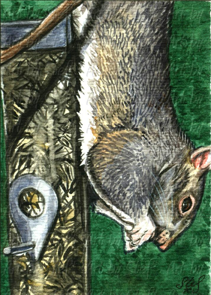 Other Animals; Dexterity Squirrel; Watercolor ACEO; Stef