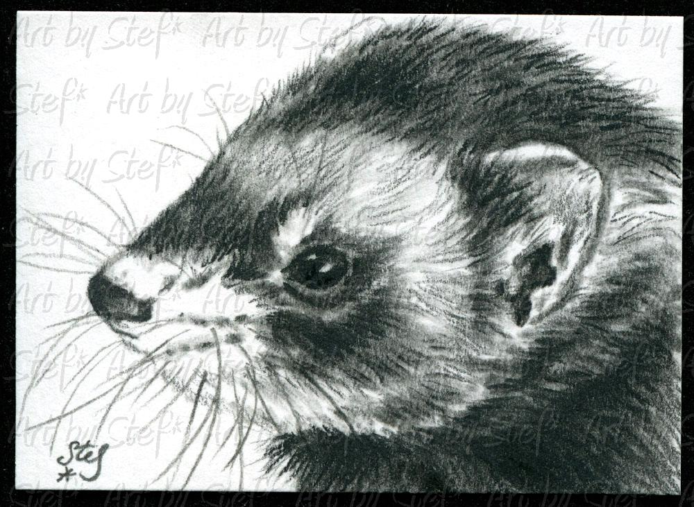 Ferrets; Faith; Charcoal sketch; Stef